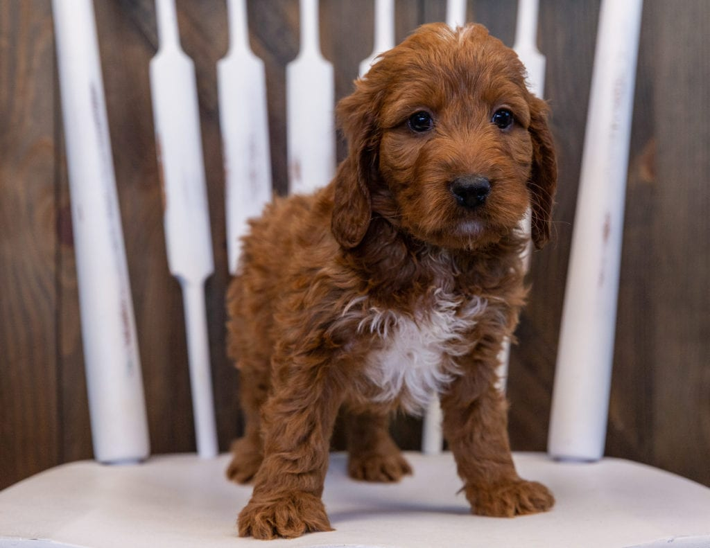 Vito came from Ginger and Milo's litter of F1 Irish Doodles