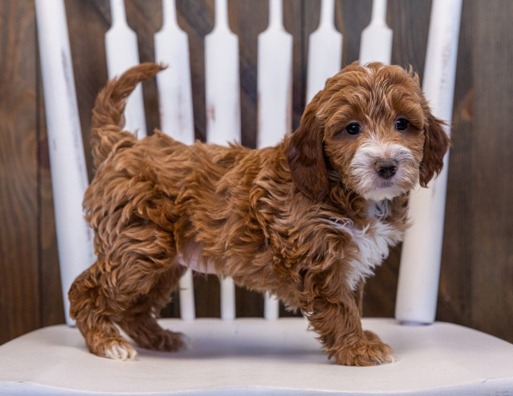 A picture of a Viva, one of our Mini Irish Doodles puppies that went to their home in Minnesota