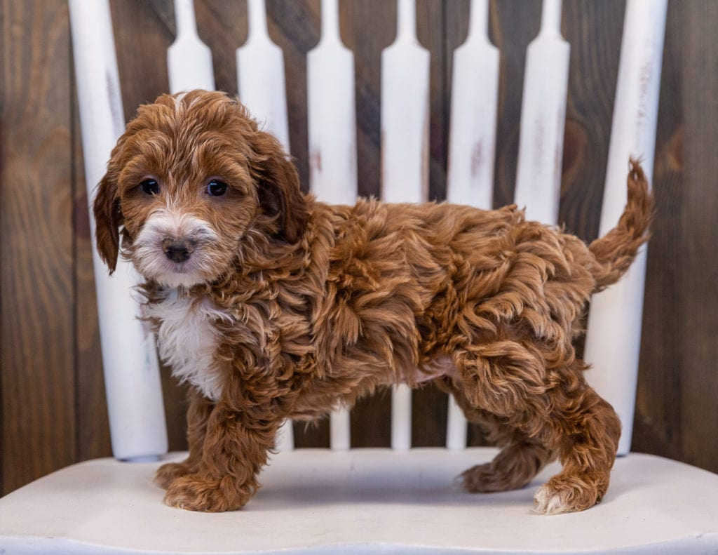 Viva is an F1 Irish Doodle that should have  and is currently living in Minnesota