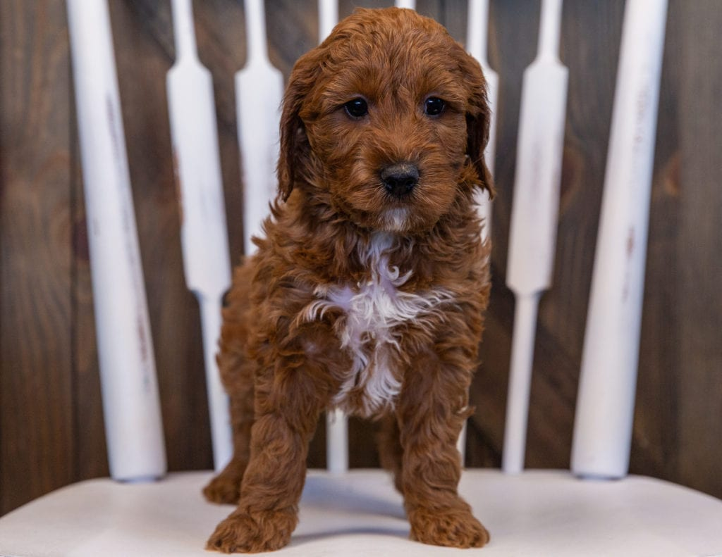 Volt came from Ginger and Milo's litter of F1 Irish Doodles