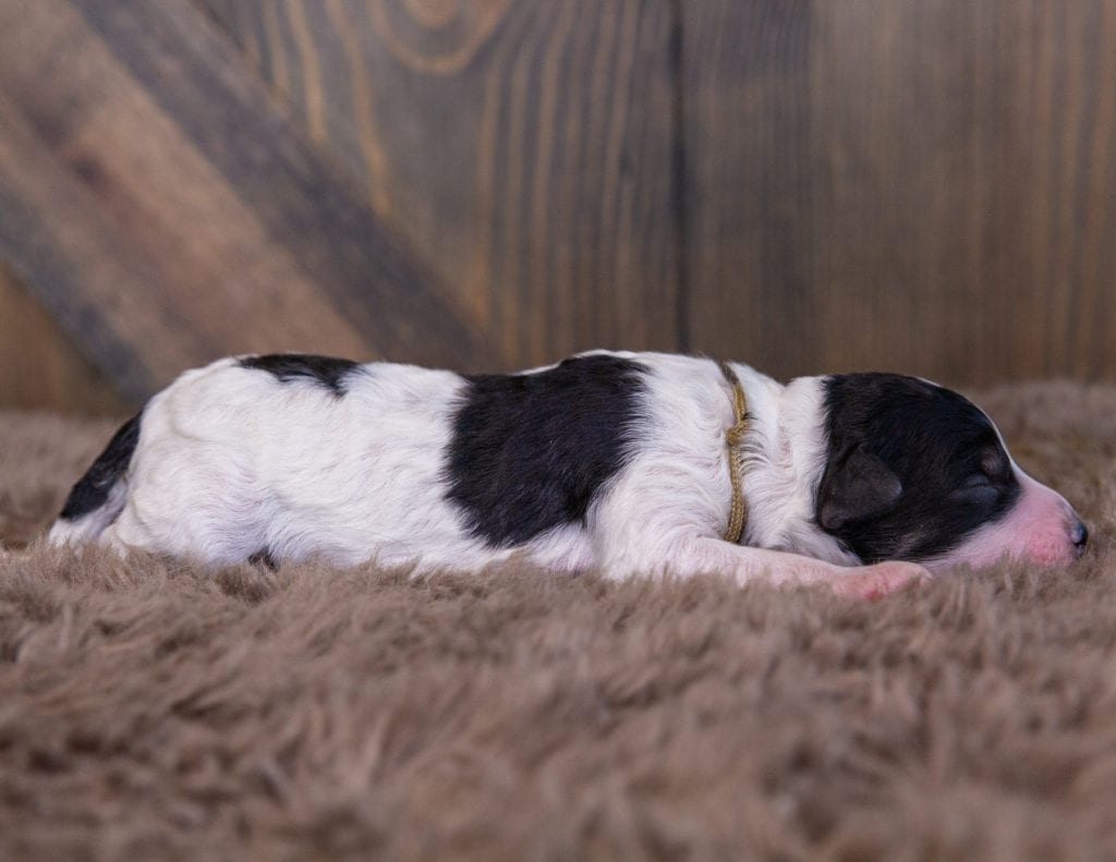 A picture of a Walker, one of our Mini Sheepadoodles for sale