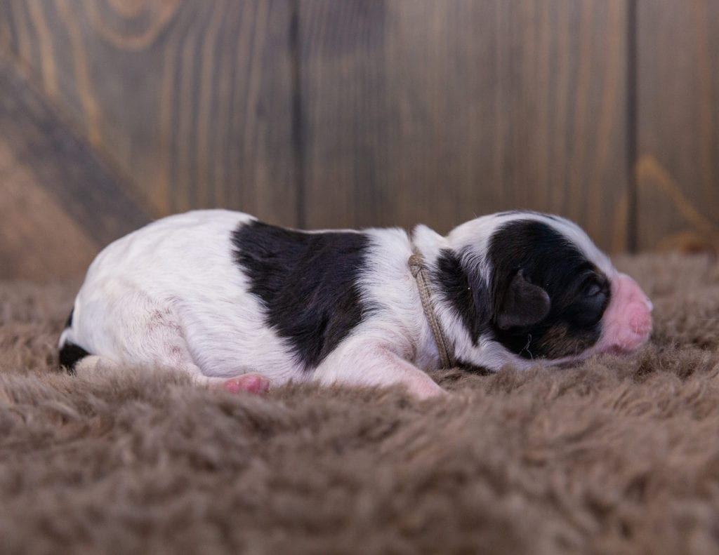 A picture of a Wanda, one of our Mini Sheepadoodles for sale