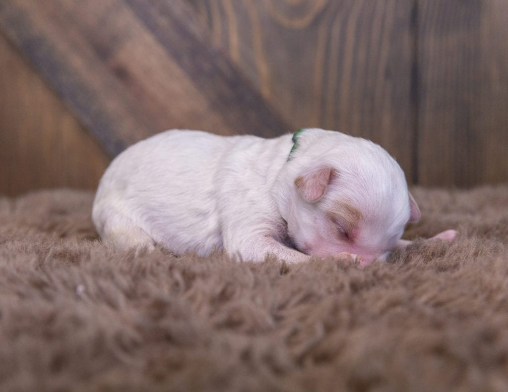 A picture of a Warren, one of our Mini Sheepadoodles for sale