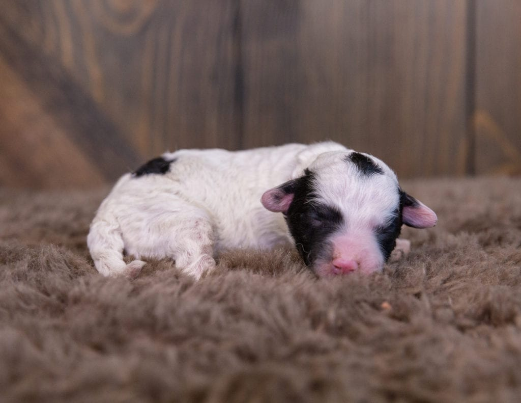 A picture of a Winona, one of our Mini Sheepadoodles for sale