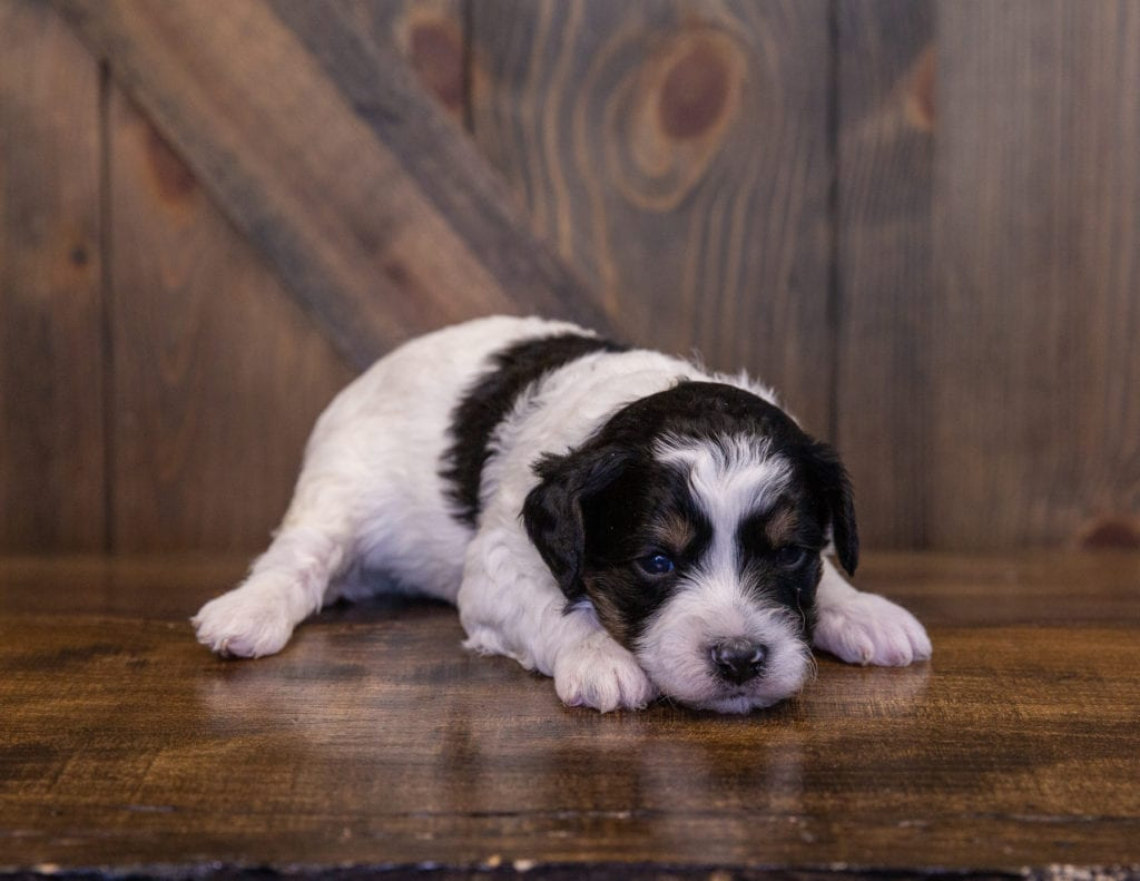 A picture of a Wrigley, one of our Mini Sheepadoodles for sale