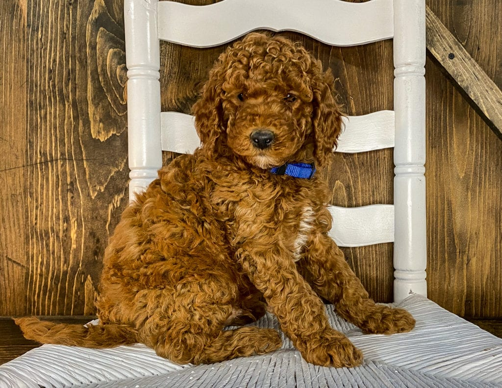 A picture of a X-Ray, one of our Mini Irish Doodles puppies that went to their home in Iowa