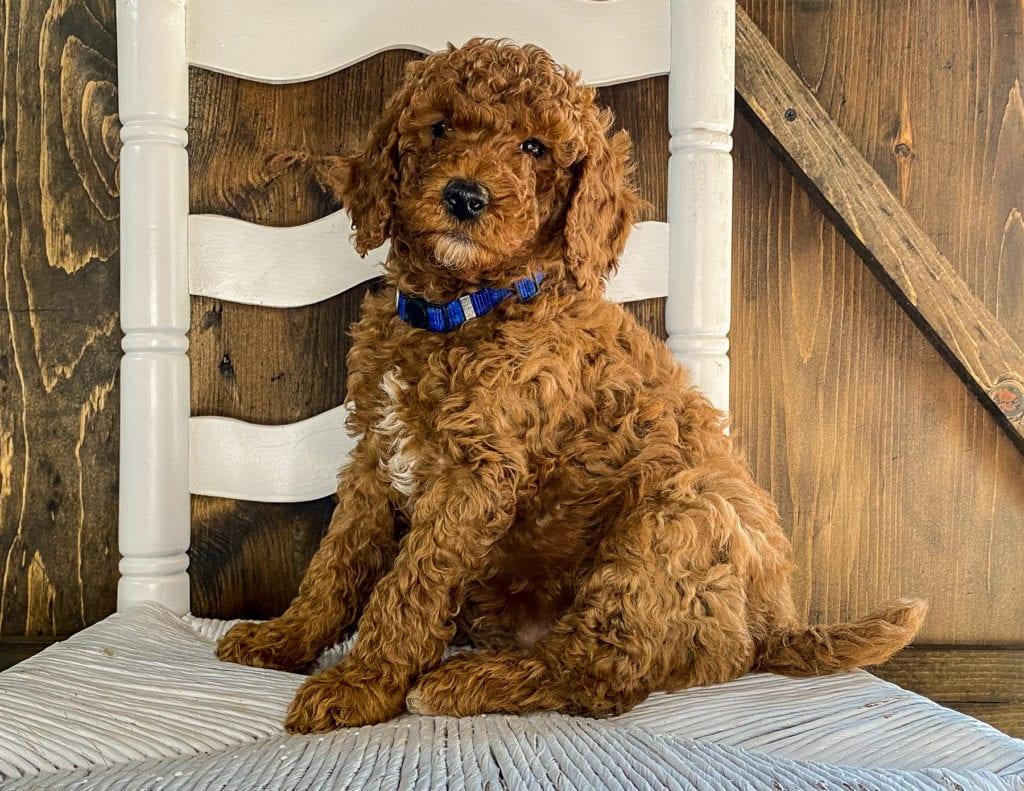 X-Ray is an F1BB Irish Doodle that should have  and is currently living in Iowa