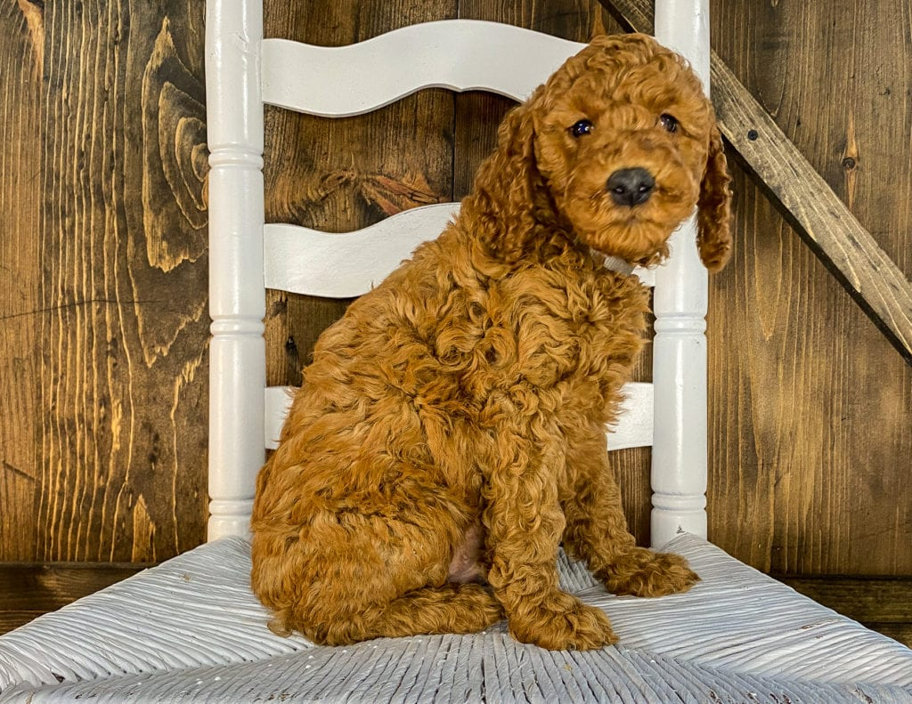 A picture of a Xackery, one of our Mini Irish Doodles puppies that went to their home in Nebraska