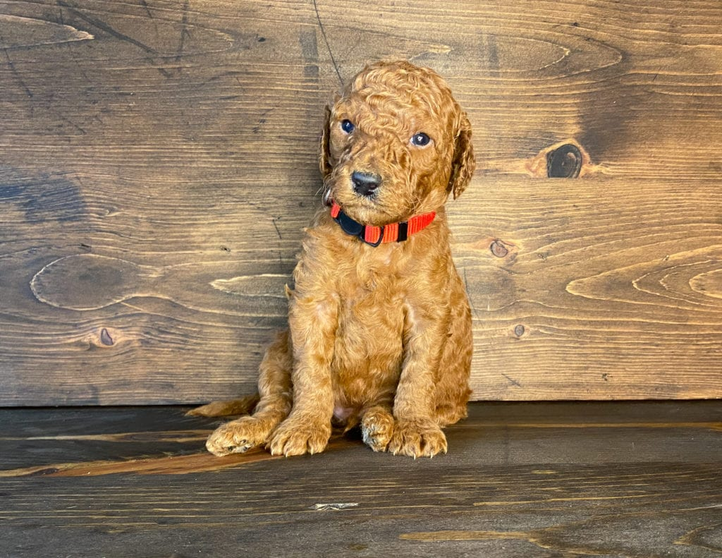 Xander came from Hadley and Toby's litter of F1BB Irish Doodles