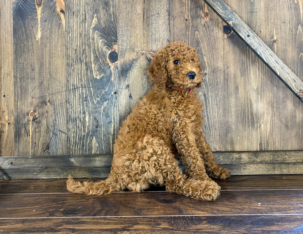 A picture of a Xander, one of our Mini Irish Doodles for sale