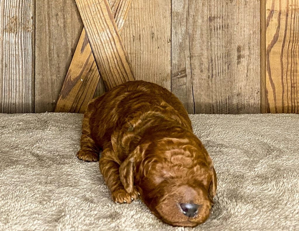 A picture of a Xavion, one of our Mini Irish Doodles for sale