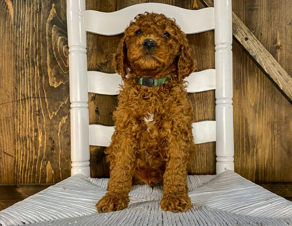 Xavion came from Hadley and Toby's litter of F1BB Irish Doodles