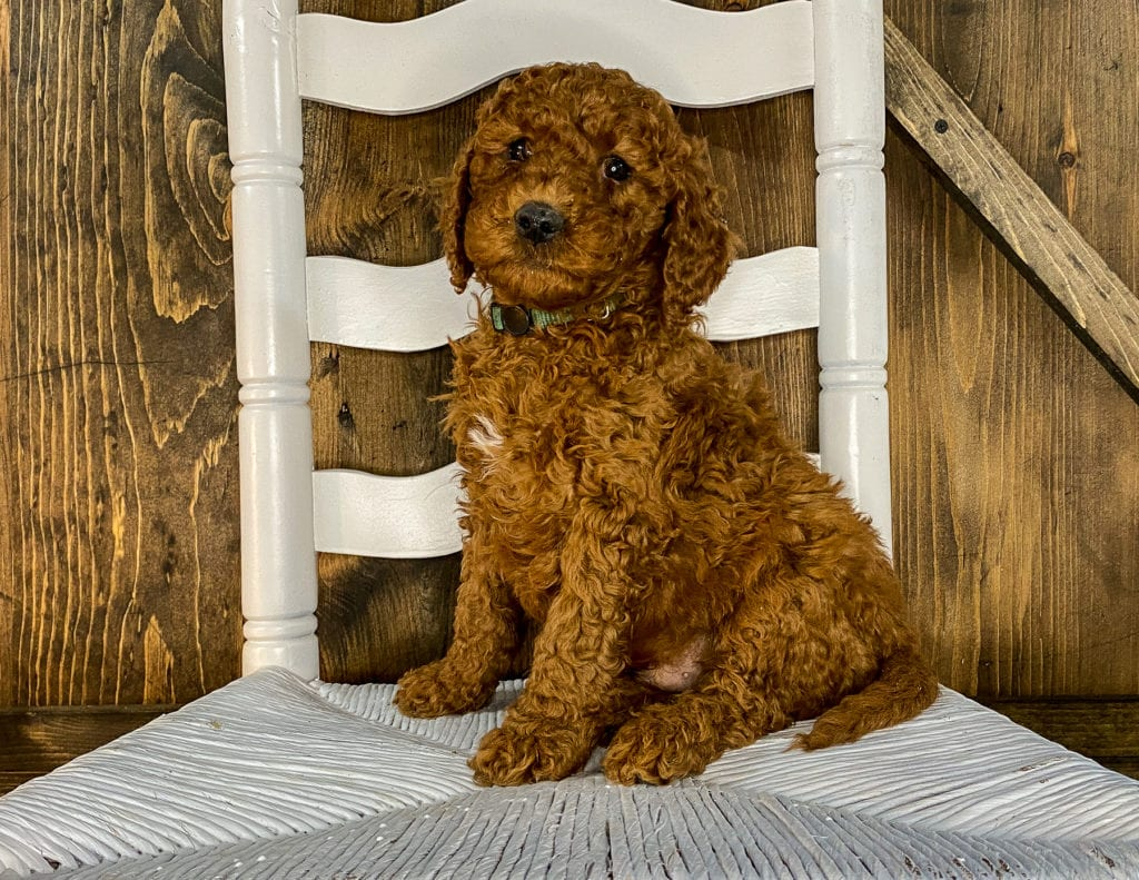 Xavion is an F1BB Irish Doodle that should have  and is currently living in Nebraska