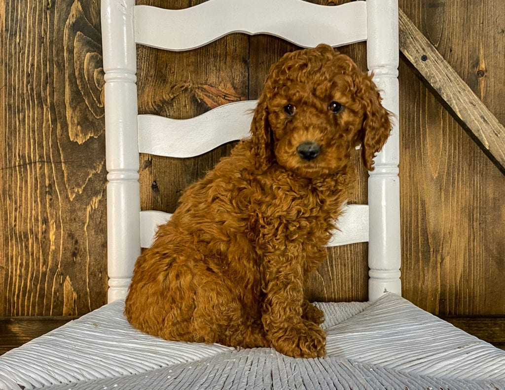 A picture of a Xavion, one of our Mini Irish Doodles puppies that went to their home in Nebraska
