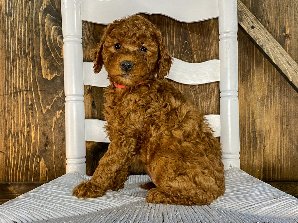 Xena is an F1BB Irish Doodle that should have  and is currently living in Texas