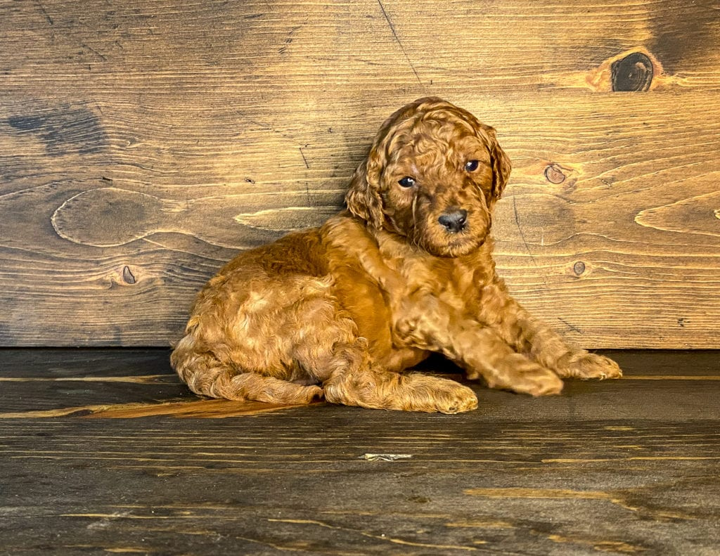 A picture of a Xena, one of our Mini Irish Doodles for sale