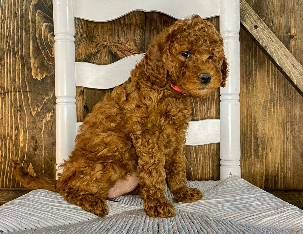 A picture of a Xena, one of our Mini Irish Doodles puppies that went to their home in Texas