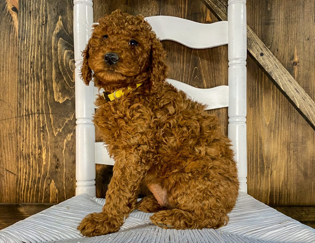 Xia is an F1BB Irish Doodle that should have  and is currently living in Colorado