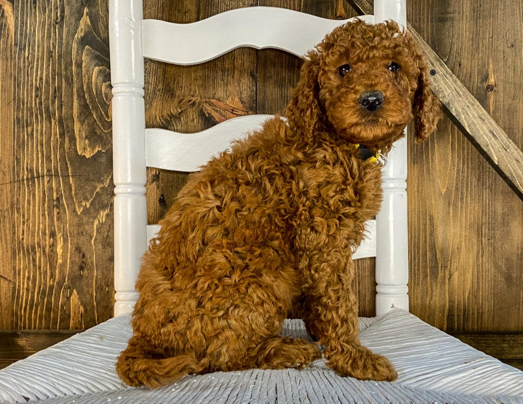 A picture of a Xia, one of our Mini Irish Doodles puppies that went to their home in Colorado