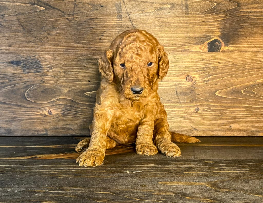 Compare and contrast Irish Doodles with other doodle types at our breed comparison page!