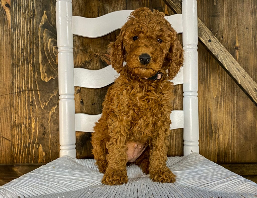 Xyla came from Hadley and Toby's litter of F1BB Irish Doodles