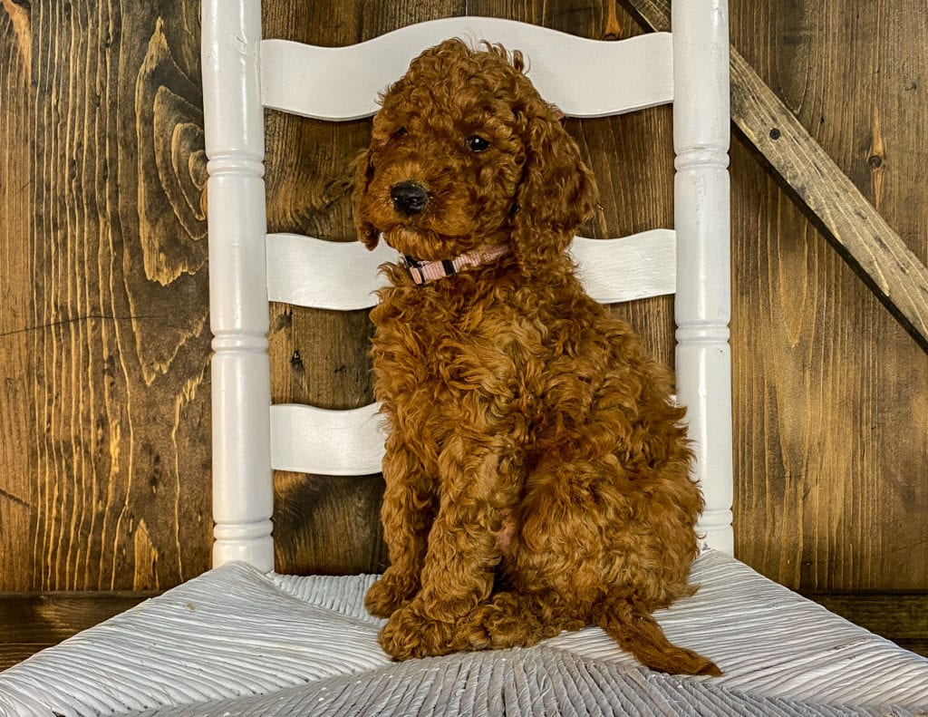 Xyla is an F1BB Irish Doodle that should have  and is currently living in Minnesota