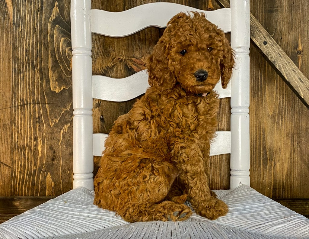 A picture of a Xyla, one of our Mini Irish Doodles puppies that went to their home in Minnesota