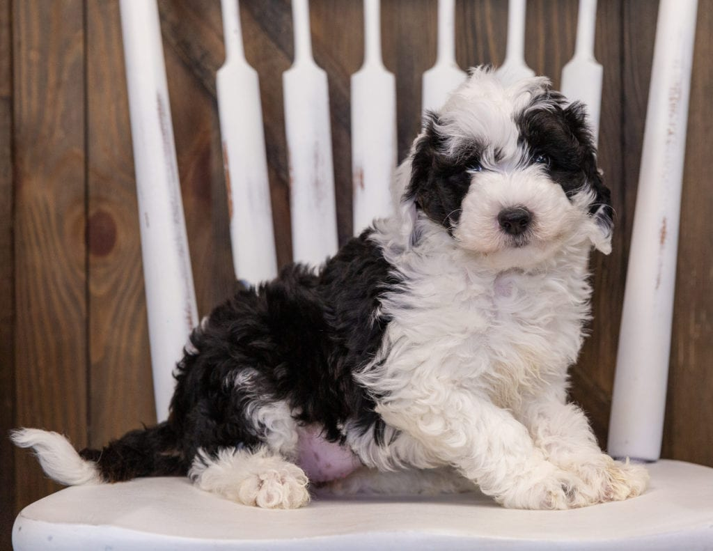 A picture of a Yancy, one of our Mini Sheepadoodles puppies that went to their home in California