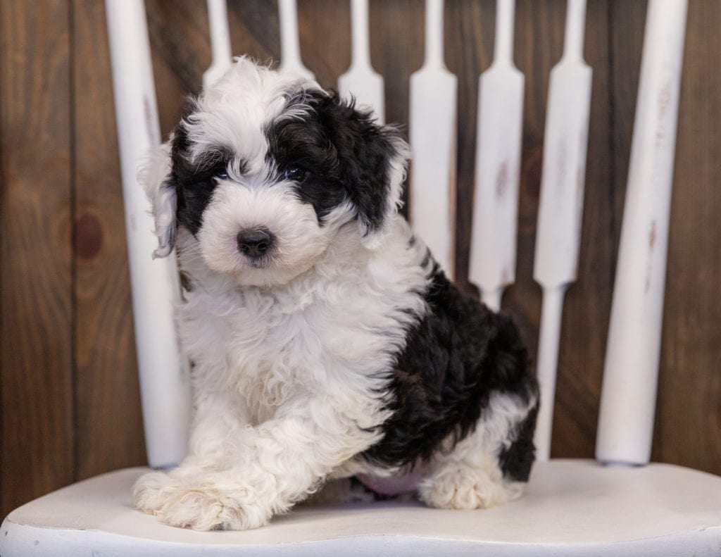 Yancy is an F1 Sheepadoodle that should have  and is currently living in California