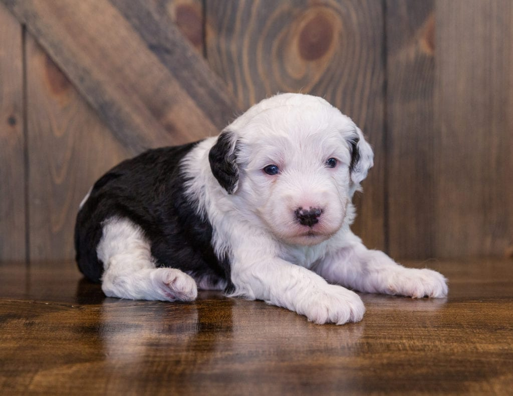 A picture of a Yanna, one of our Mini Sheepadoodles for sale