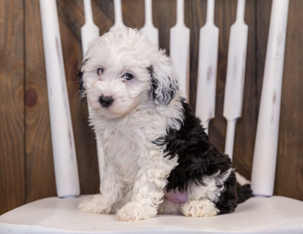 Yanna is an F1 Sheepadoodle that should have  and is currently living in Arizona
