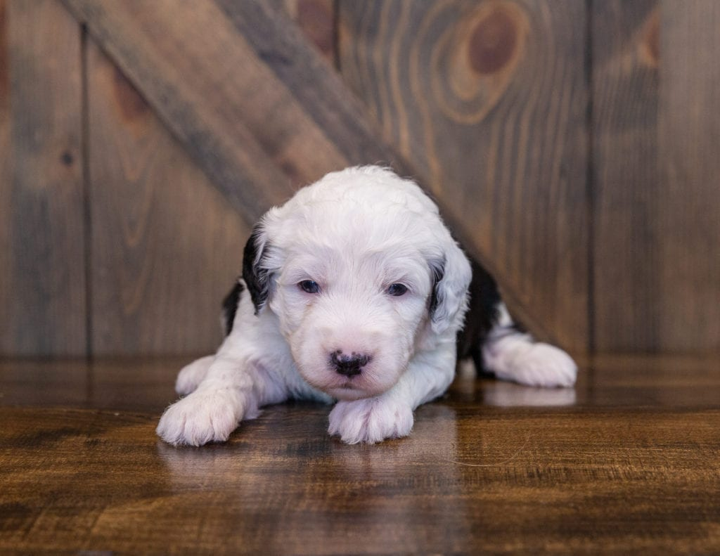 Yanna came from Tuxxy and Stanley's litter of F1 Sheepadoodles