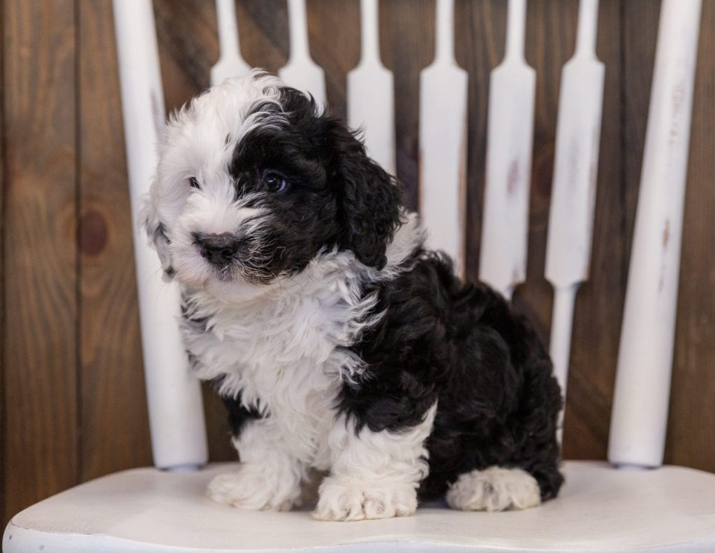 Yoda is an F1 Sheepadoodle that should have  and is currently living in Illinois