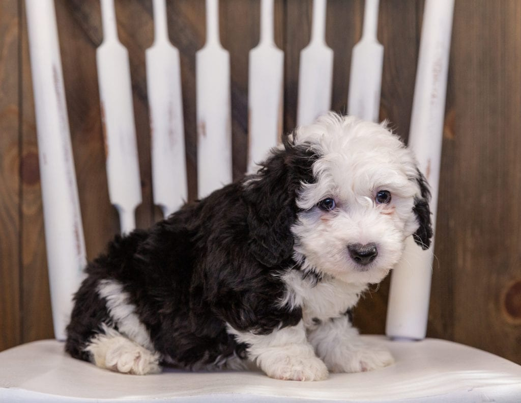 A picture of a Yolo, one of our Mini Sheepadoodles puppies that went to their home in Georgia