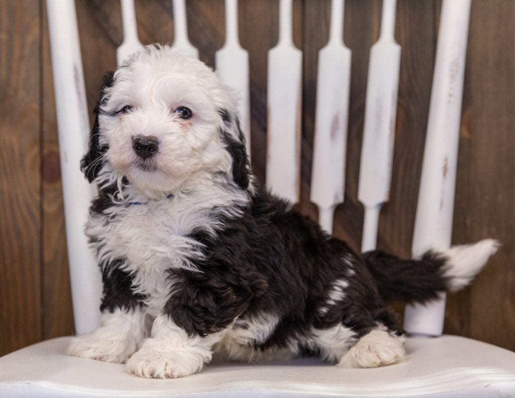 Yolo is an F1 Sheepadoodle that should have  and is currently living in Georgia