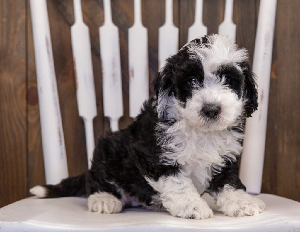 A picture of a Yoyo, one of our Mini Sheepadoodles puppies that went to their home in North Carolina