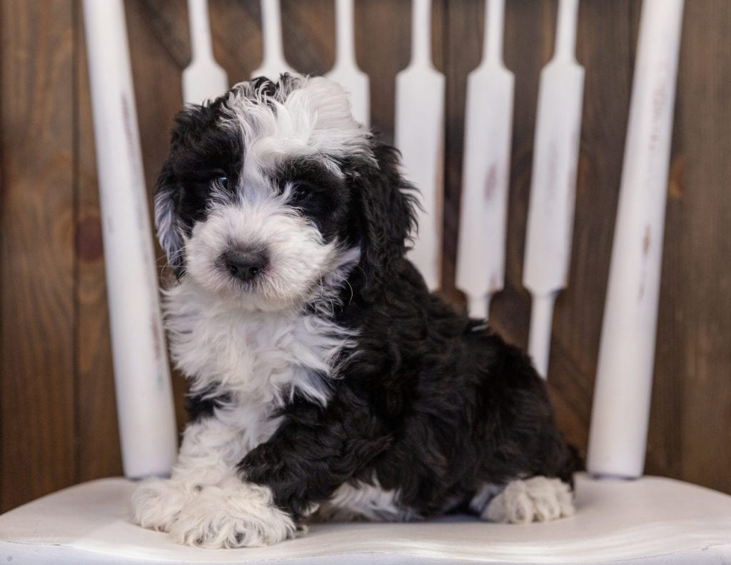 Yoyo is an F1 Sheepadoodle that should have  and is currently living in North Carolina