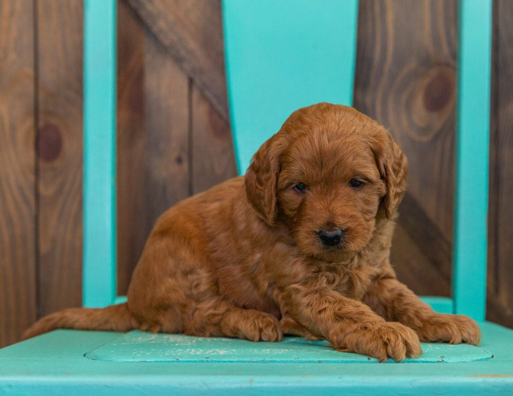 A picture of a Daisy, one of our  Goldendoodles for sale