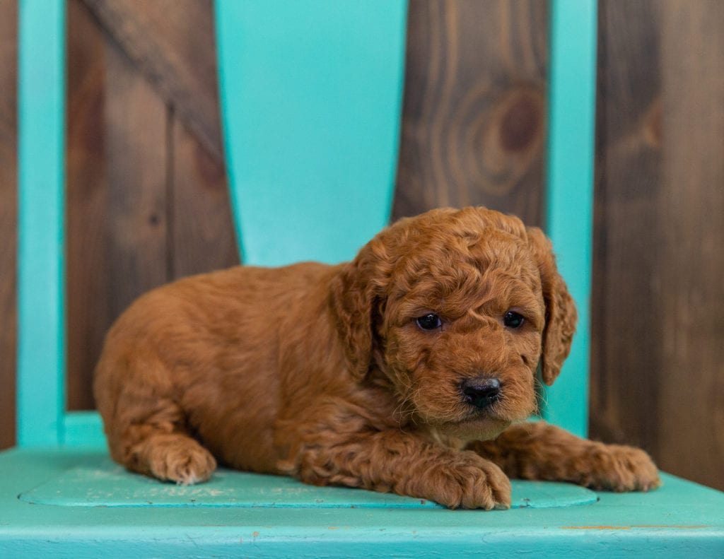 A picture of a Darcy, one of our  Goldendoodles puppies that went to their home in Colorado