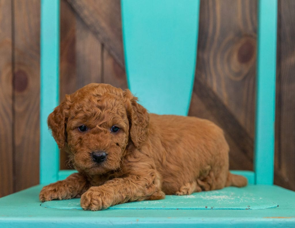Darcy is an F2B Goldendoodle that should have  and is currently living in Colorado