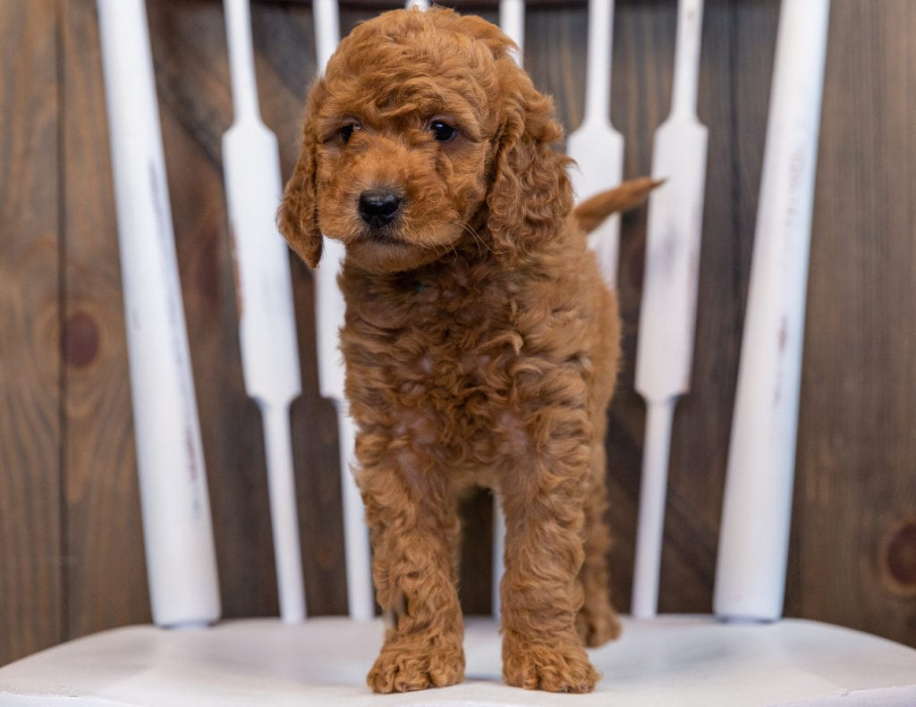 Darcy came from Berkeley and Teddy's litter of F2B Goldendoodles