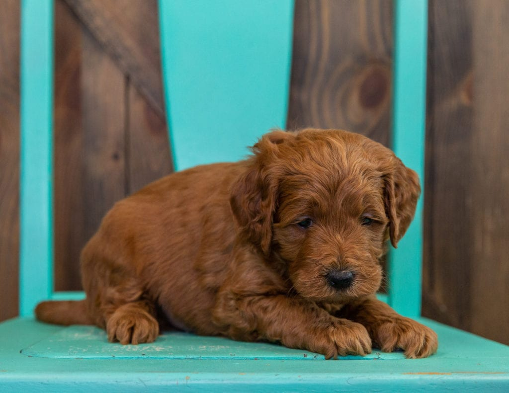 A picture of a Dawson, one of our  Goldendoodles puppies that went to their home in Florida