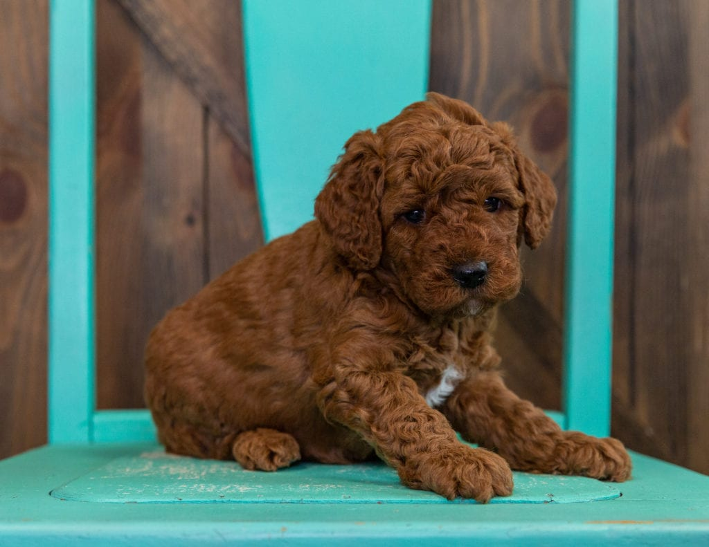 A picture of a Deisel, one of our  Goldendoodles puppies that went to their home in Nebraska