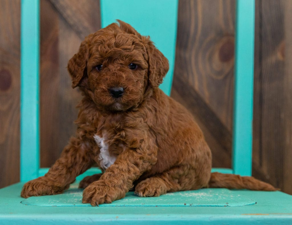 Deisel is an F2B Goldendoodle that should have  and is currently living in Nebraska