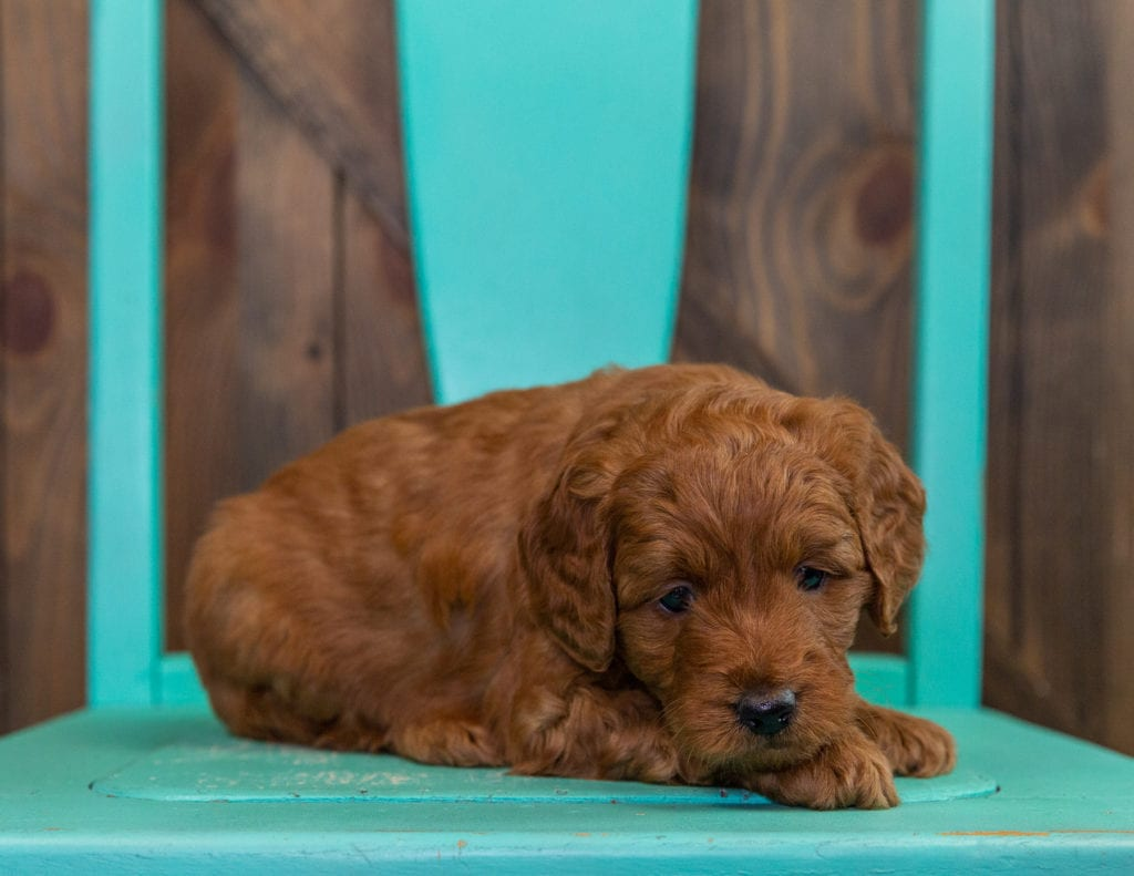 A picture of a Denny, one of our  Goldendoodles puppies that went to their home in Minnesota