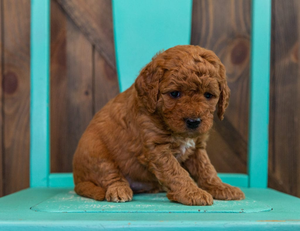 A picture of a Dezi, one of our  Goldendoodles puppies that went to their home in Nebraska