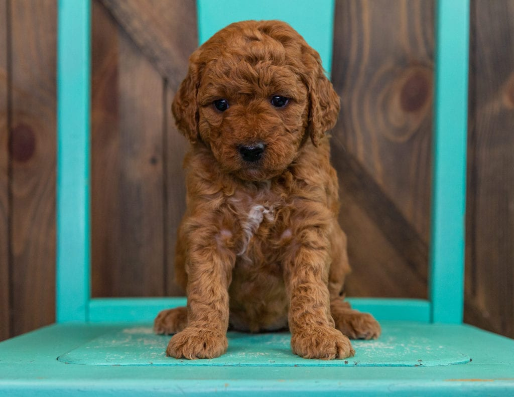 Dezi came from Berkeley and Teddy's litter of F2B Goldendoodles