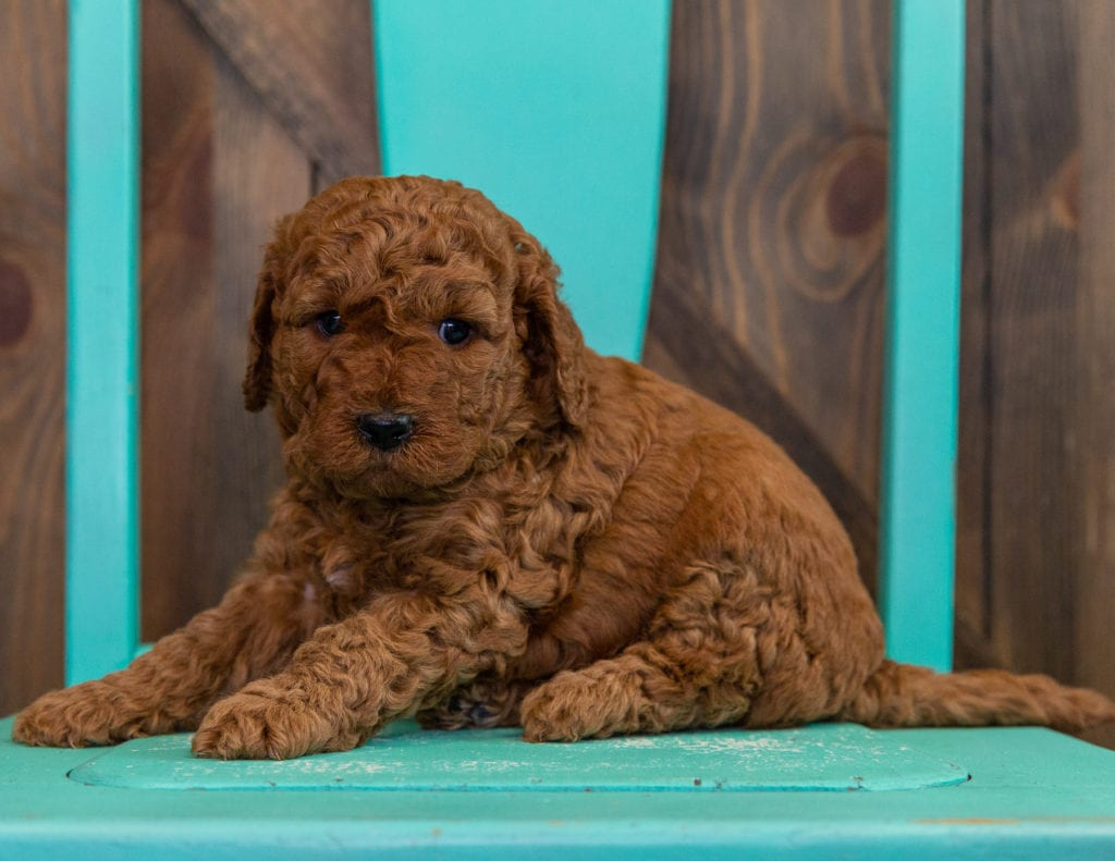 Doodle is an F2B Goldendoodle that should have  and is currently living in Iowa