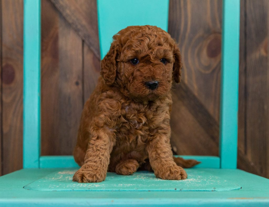 Doodle came from Berkeley and Teddy's litter of F2B Goldendoodles