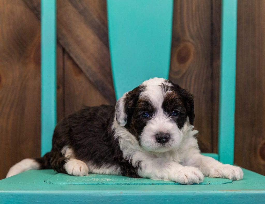 A picture of a Elliot, one of our Mini Sheepadoodles puppies that went to their home in Illinois